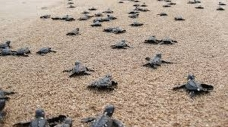 Hatched Sea Turtles Return to Gulf