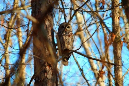 Barred Owl by Becky Patterson